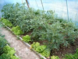 Sałata to warzywo, które w tunelu powinno znaleźć się w miejscu o nieco niższym poziomie nasłonecznienia niż inne warzywa. Tutaj znajdziemy doskonały przykład sensownej aranżacji szklarni z sałatą w roli głównej.