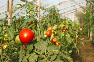 Pomidory z przydomowych praw podobno nie mają sobie równych w smaku. Na zdjęciu: pomidory szklarniowe w końcowym etapie dojrzewania.